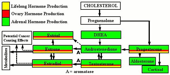 Hormone Production - Menopause