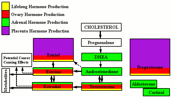 Hormone Production - Pregnancy