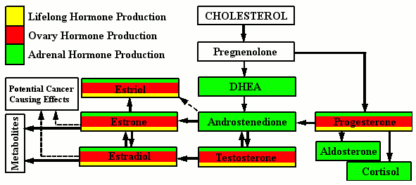 Effect of estradiol on sexual reproduction
