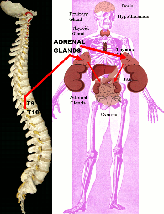 Spinal Misalignments and Adrenal Glands