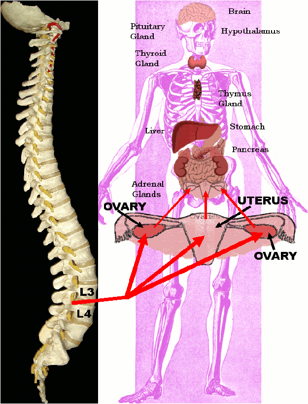 Spinal Misalignments and Reproductive System