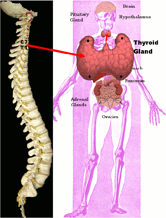 Spinal Misalignments and Thyroid Gland